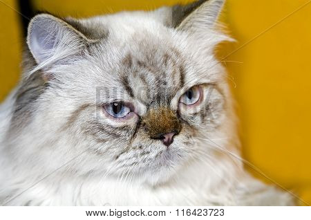 Cat Persian-extreme