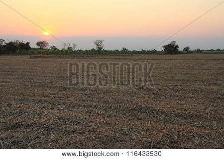 old  sugarcane in sunset time