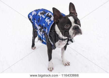 Boston Terrier in Snow Wearing Jacket