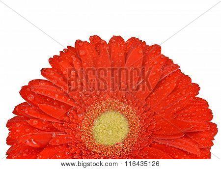 Dewy gerbera flower