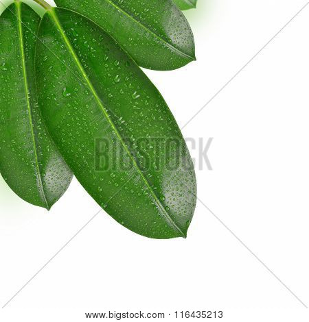 Dewy Ficus leaves