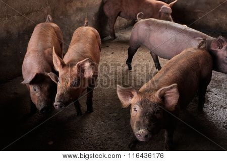Black-skinned pigs indigenous to Bali are bred for meat in Ubud, Indonesia