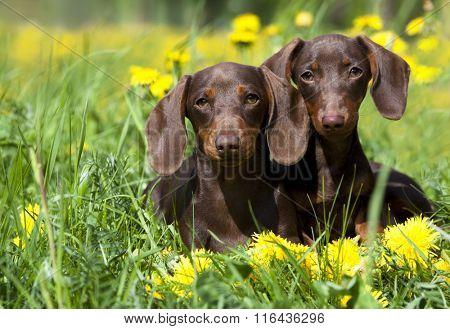 tvo dachshund and dandelions