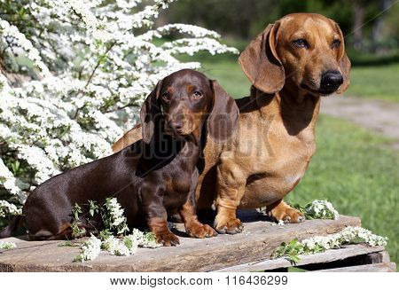 spring flowers and a tvo dachshund on a background of the garden
