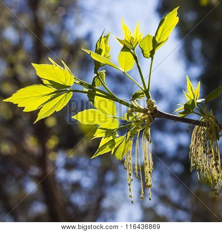 The ash-leaf maple or American maple ( Acer negundo)