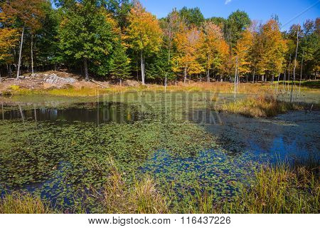Yellow autumn leaves in park  in Canada. Adorable little lake overgrown with water plants