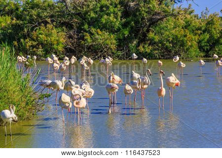 Large flock of pink flamingos. Picturesque exotic birds roost at sunset. Evening in the National Park of the Camargue, Provence, France