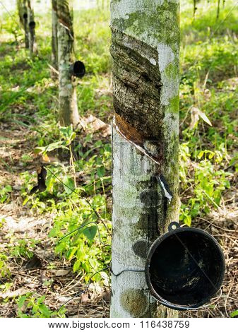Rubber Trees And Cup Rubber