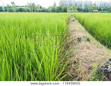 Ridge And Rice Farm