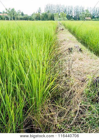 Ridge And Rice Field