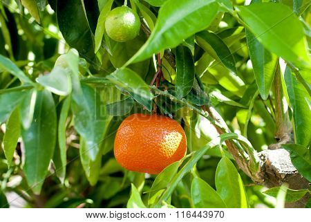 Growing Ripe Mandarin