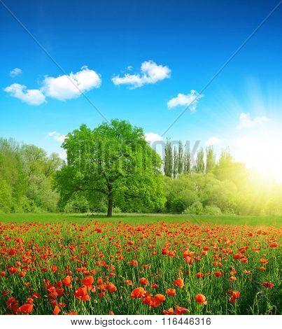 Poppies in a field in spring landscape.