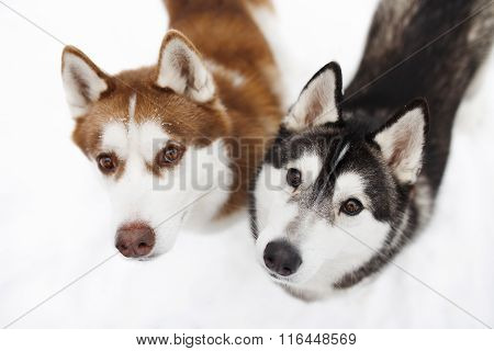 dogs huskie black red