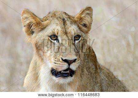Close Lion In National Park Of Kenya