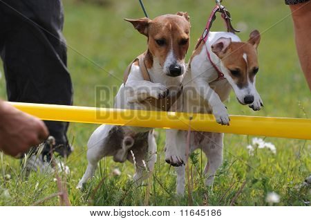 Training Of Young Dogs