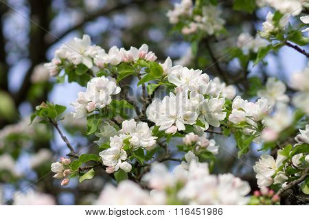 Blossoming Apple Tree Twig With White Flowers