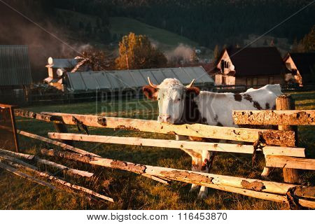 Autumn Mountain Landscape With A Cow
