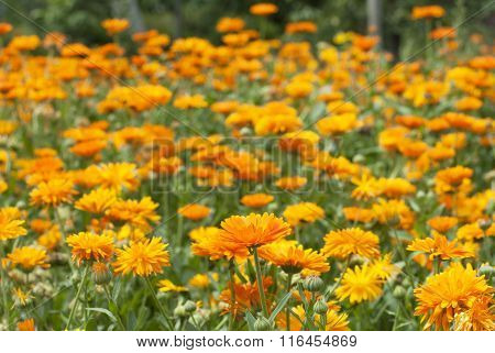 Field of blossoming marigold