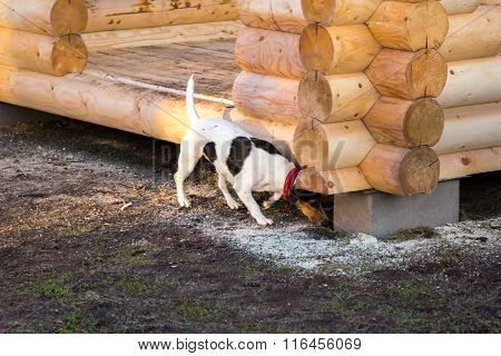 Jack Russell Terrier Sniffs The Ground Under Log Gazebo