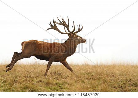 Beautiful Red Deer Stag Running