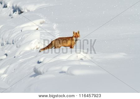 Beautiful Red Fox In Snow