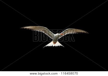 Common Tern In Flight Isolated On Black