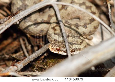 Common European Viper Hiding Amongst Twigs