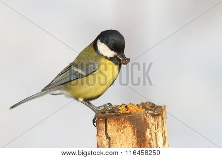 Great Tit Eating Sunflower Seed
