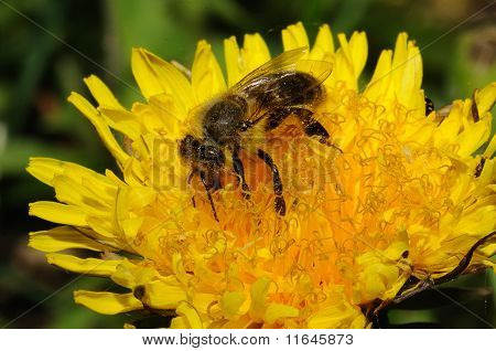 Bee in the flover