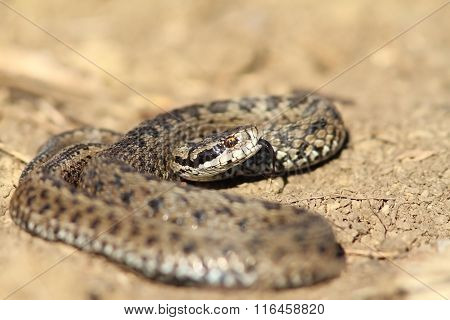 Male Meadow Viper In Defensive Position