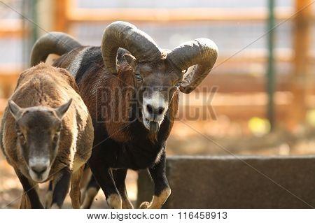 Mouflon Ram In Rut