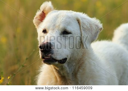 Outdoor Portrait Of Romanian White Shepherd Dog