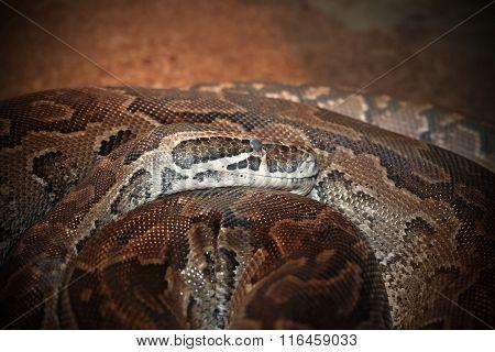 Python Sebae Natalensis