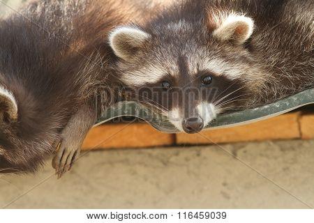 Raccoon On The Zoo