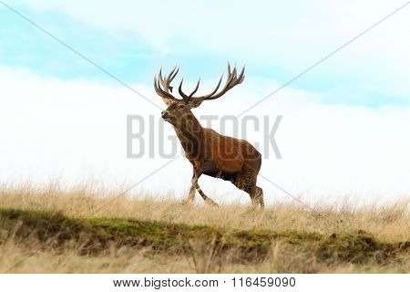 Red Deer Buck Running On Top Of A Hill