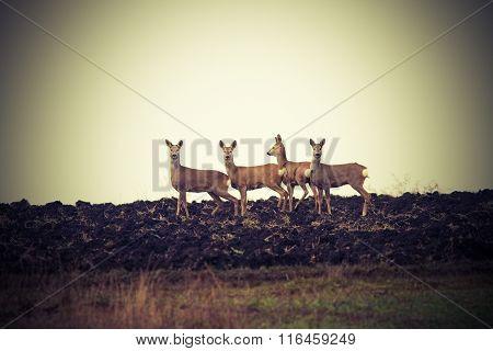 Vintage Image Of Wild Roe Deers