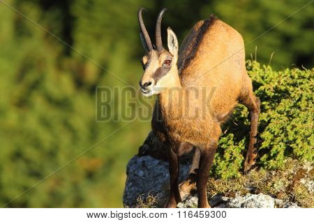 Wild Chamois Looking Up To The Camera