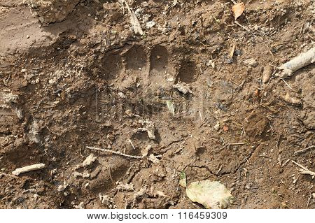 Wild Brown Bear Footprint In Mud