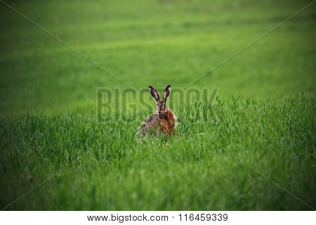 Wild Hare In Green Field