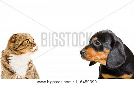 Portrait of Scottish Fold cat and puppy breed Slovakian Hound