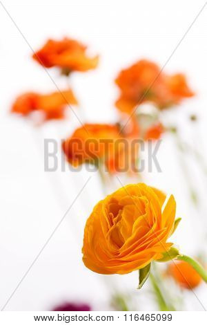 Orange persian buttercup