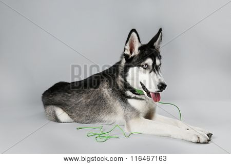 Young Husky in headphones laying on grey background