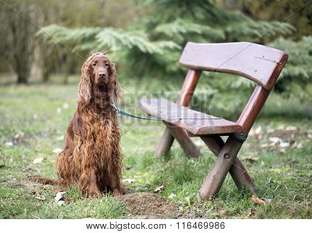 Dog On A Leash At The Bench