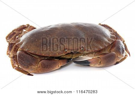 Edible Brown Crab