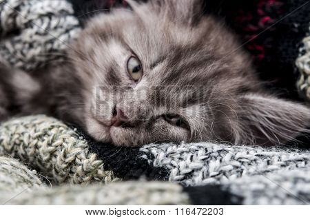 Lovely grey kitten sleep in woolen scarf