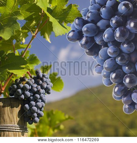 Several bunches of ripe grapes on the vine