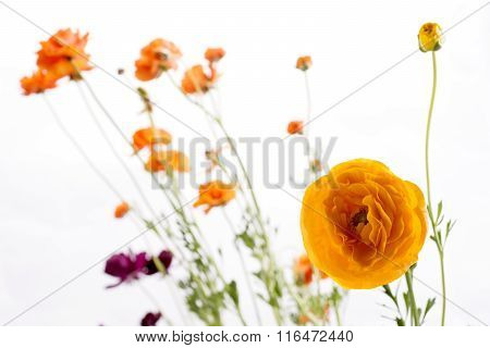 Orange persian buttercup flowers