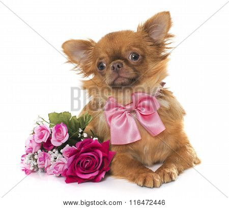 Brown Puppy Chihuahua And Flowers