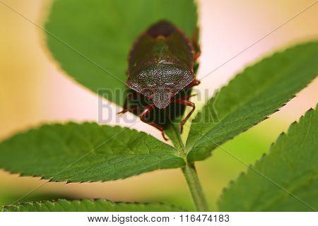 Shield Bug Or Stink Bug