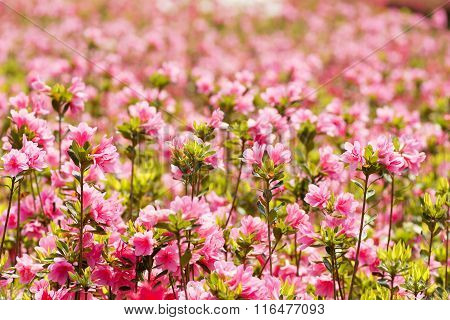Pink azalea field